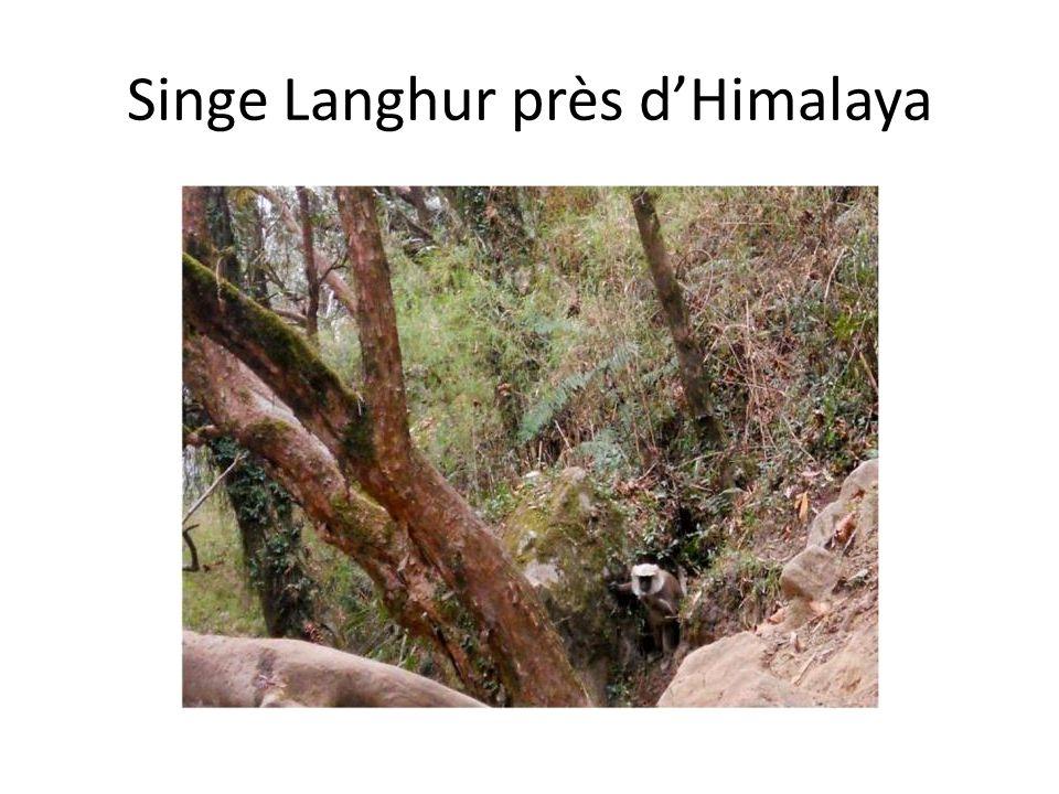 Singe Langhur près dHimalaya