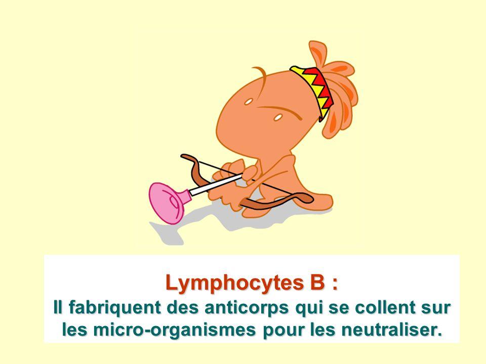 Lymphocytes B : Il fabriquent des anticorps qui se collent sur les micro-organismes pour les neutraliser.