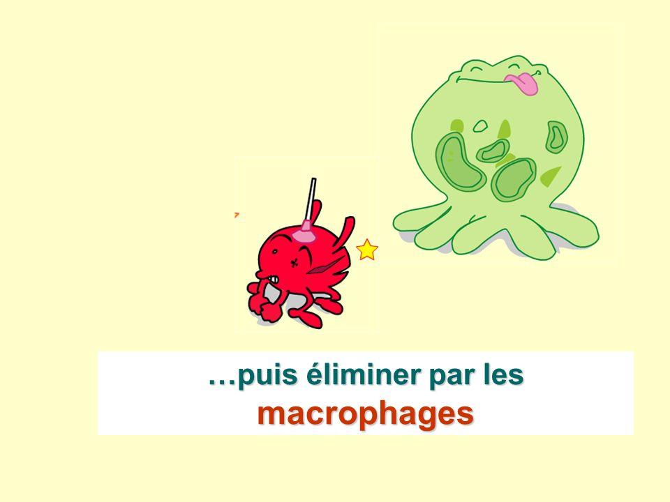 …puis éliminer par les macrophages