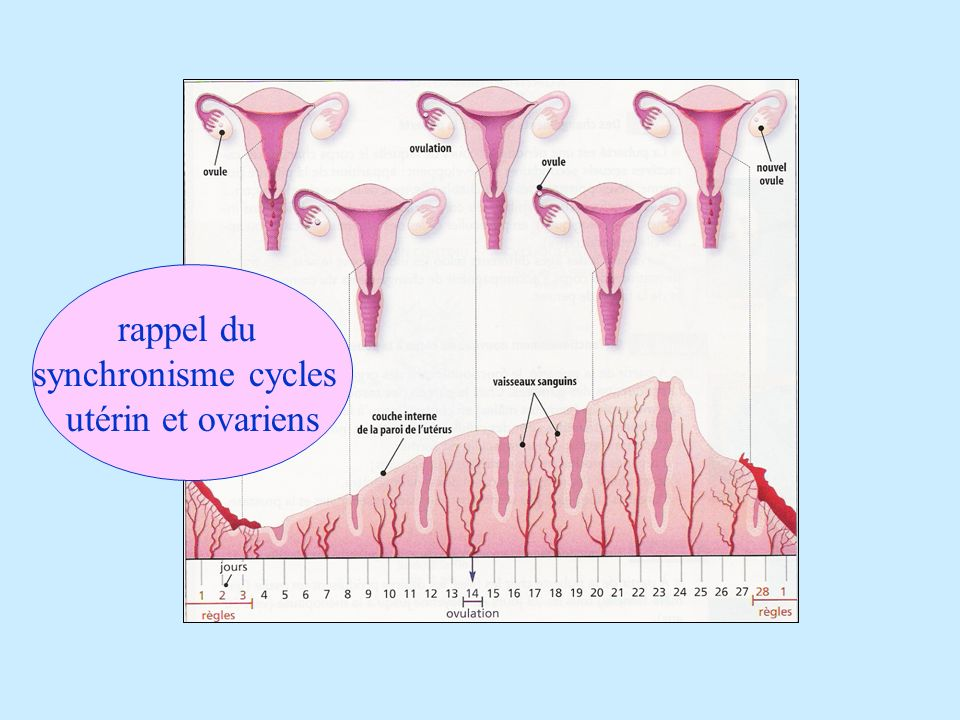 rappel du synchronisme cycles utérin et ovariens
