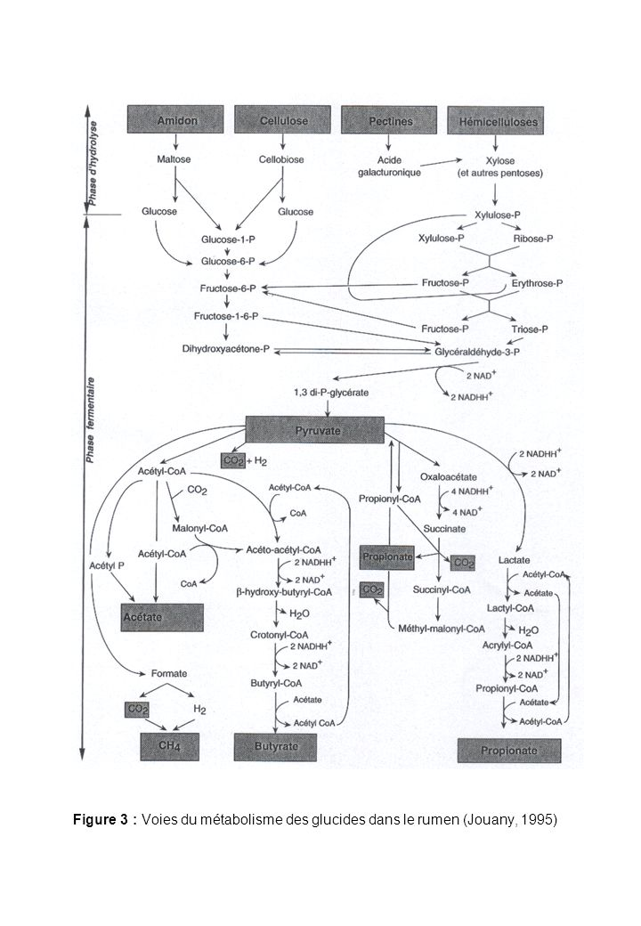 Figure 3 : Voies du métabolisme des glucides dans le rumen (Jouany, 1995)