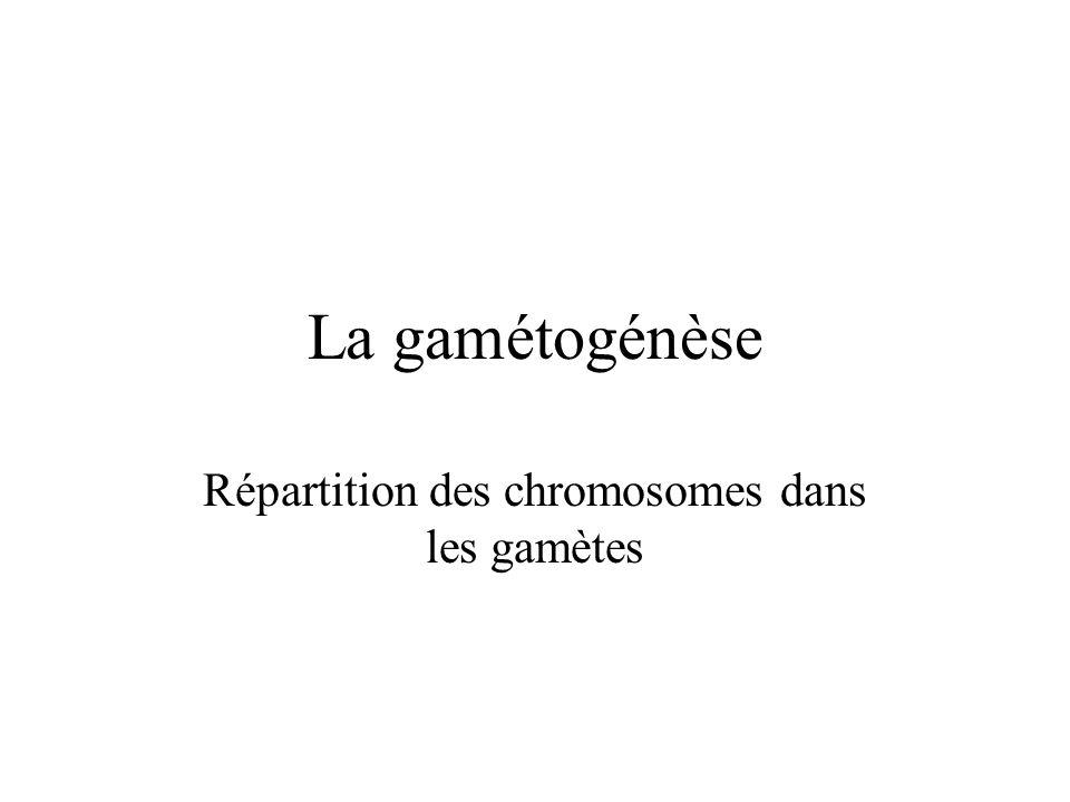La gamétogénèse Répartition des chromosomes dans les gamètes