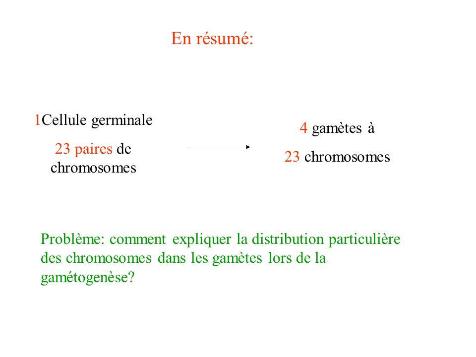 En résumé: 1Cellule germinale 23 paires de chromosomes 4 gamètes à 23 chromosomes Problème: comment expliquer la distribution particulière des chromos