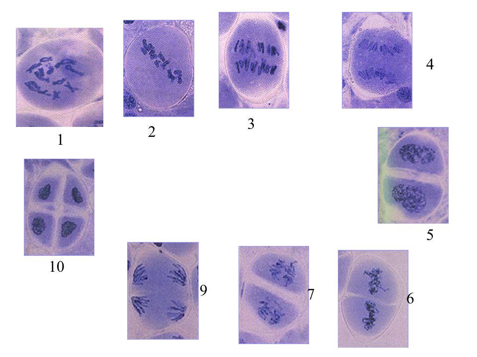 On peut schématiser lévolution des chromosomes dans la cellule de la manière suivante: