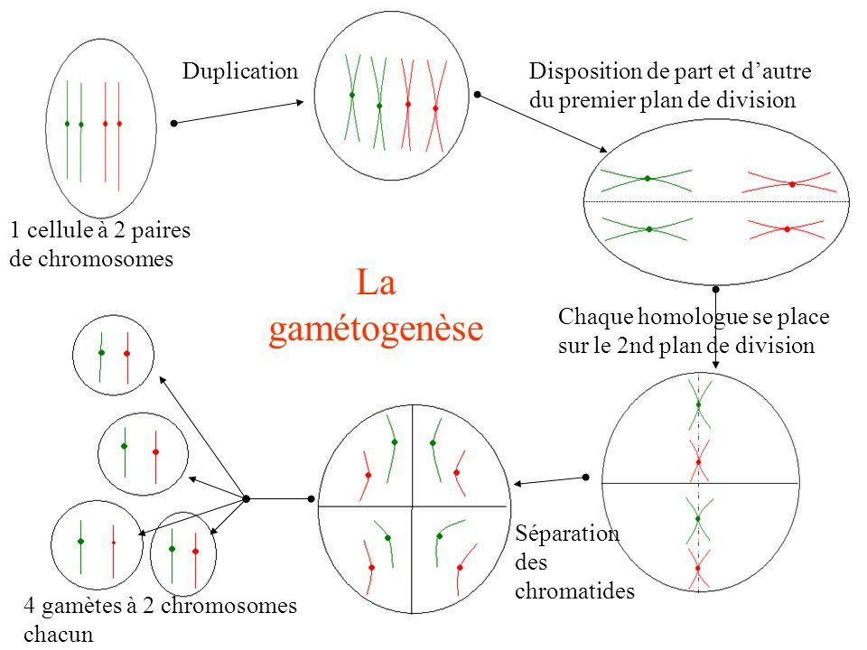 DuplicationDisposition de part et dautre du premier plan de division Chaque homologue se place sur le 2nd plan de division Séparation des chromatides