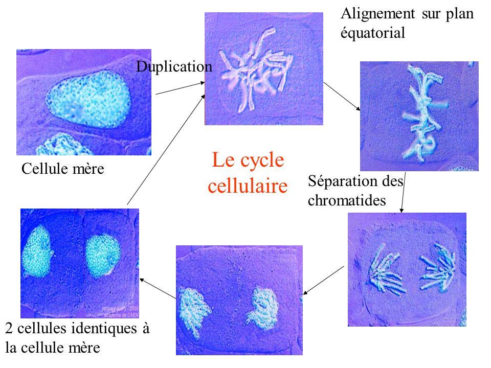 Duplication Alignement sur plan équatorial Séparation des chromatides 2 cellules identiques à la cellule mère Cellule mère Le cycle cellulaire