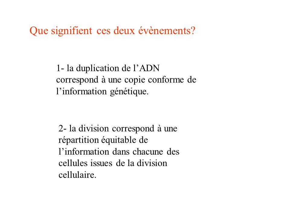 Que signifient ces deux évènements? 1- la duplication de lADN correspond à une copie conforme de linformation génétique. 2- la division correspond à u