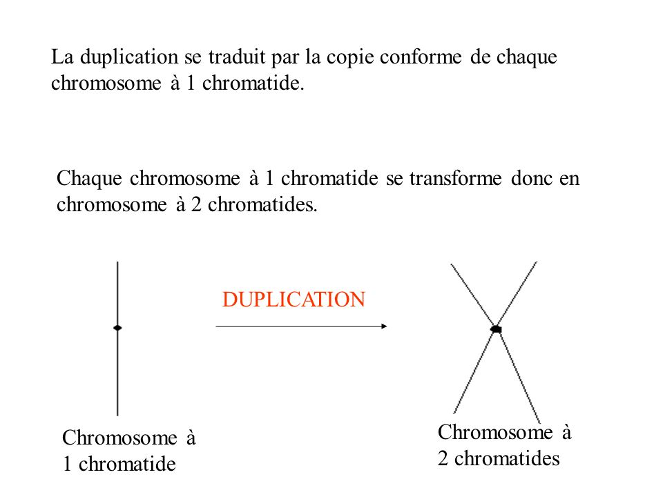 La duplication se traduit par la copie conforme de chaque chromosome à 1 chromatide. Chaque chromosome à 1 chromatide se transforme donc en chromosome