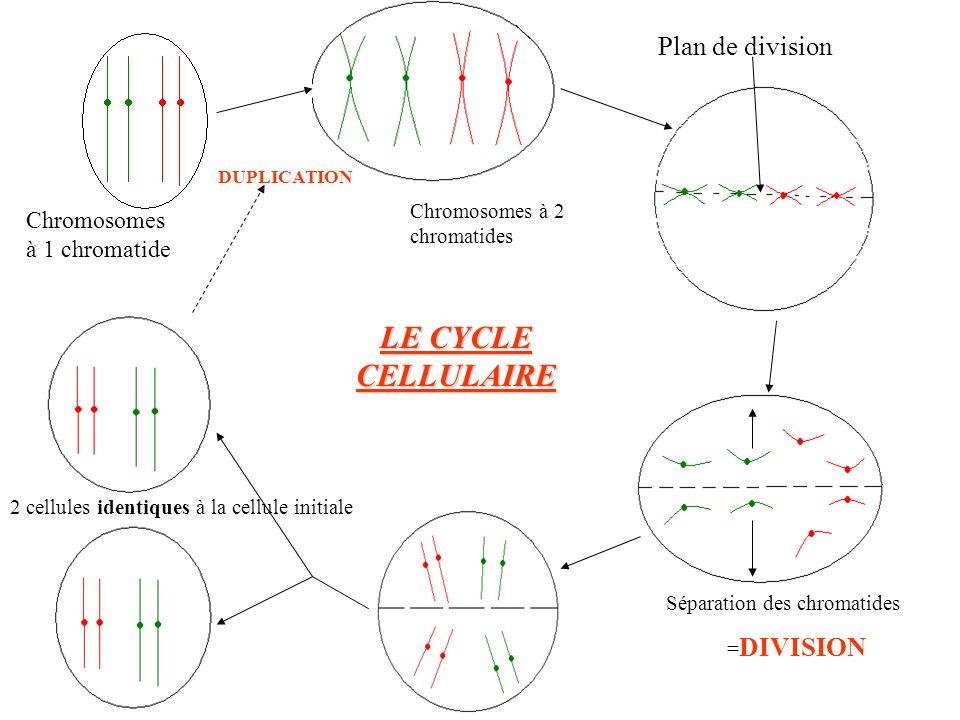 DUPLICATION Plan de division Chromosomes à 1 chromatide Chromosomes à 2 chromatides Séparation des chromatides = DIVISION 2 cellules identiques à la c