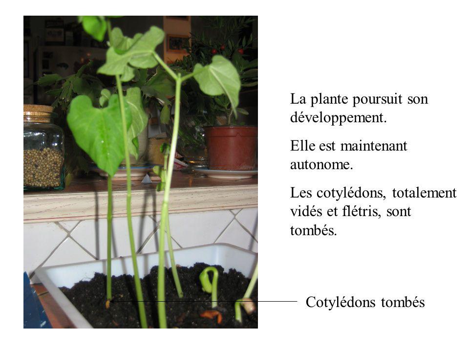La plante poursuit son développement. Elle est maintenant autonome. Les cotylédons, totalement vidés et flétris, sont tombés. Cotylédons tombés