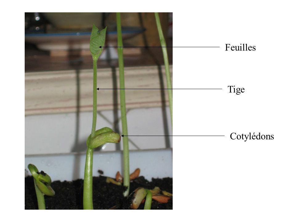 On remarque que les feuilles présentent la même disposition que celle observée sur lembryon.