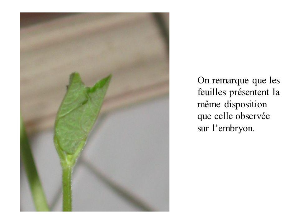 Les cotylédons, organes de réserve, se flétrissent peu à peu au fur et à mesure de leur utilisation par la plante.