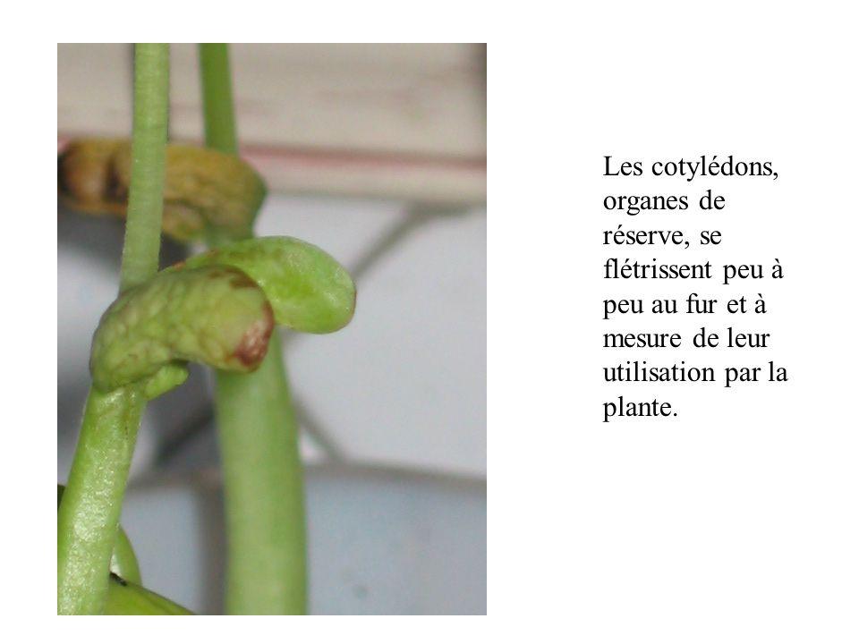 La plante poursuit sa croissance.