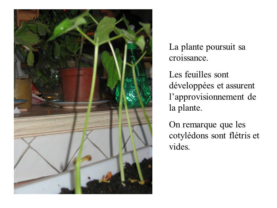 La plante poursuit sa croissance. Les feuilles sont développées et assurent lapprovisionnement de la plante. On remarque que les cotylédons sont flétr