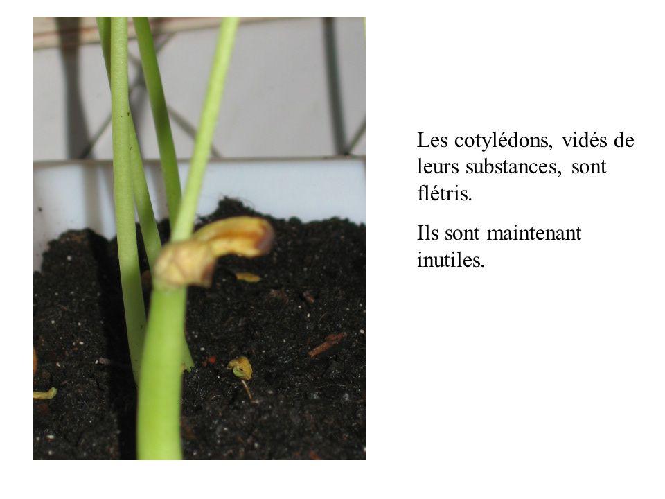 Les cotylédons, vidés de leurs substances, sont flétris. Ils sont maintenant inutiles.