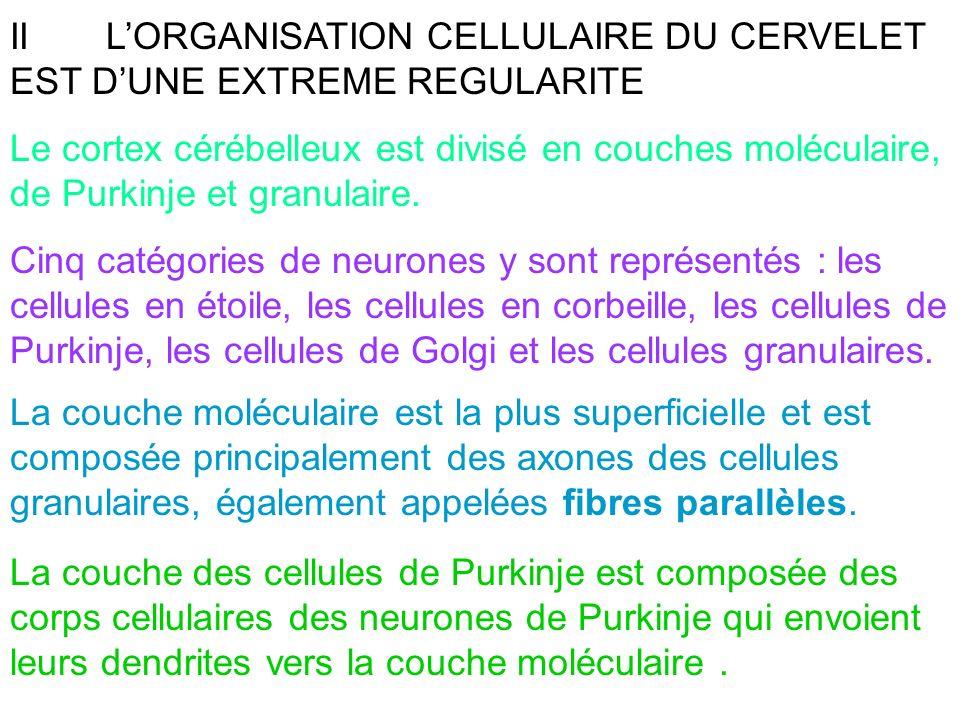 IILORGANISATION CELLULAIRE DU CERVELET EST DUNE EXTREME REGULARITE Le cortex cérébelleux est divisé en couches moléculaire, de Purkinje et granulaire.