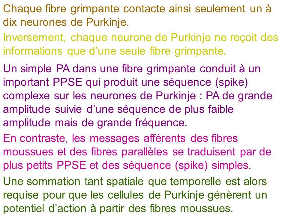 Chaque fibre grimpante contacte ainsi seulement un à dix neurones de Purkinje. Inversement, chaque neurone de Purkinje ne reçoit des informations que
