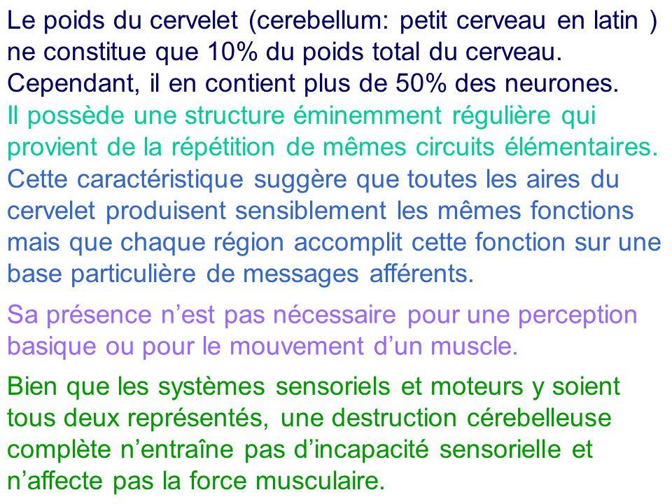 Il joue plutôt un rôle déterminant dans le mouvement et la posture en ajustant les signaux efférents des systèmes moteurs du cerveau.
