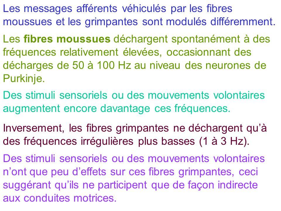 Les messages afférents véhiculés par les fibres moussues et les grimpantes sont modulés différemment. Les fibres moussues déchargent spontanément à de