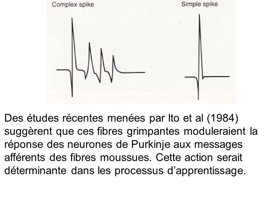 Des études récentes menées par Ito et al (1984) suggèrent que ces fibres grimpantes moduleraient la réponse des neurones de Purkinje aux messages affé