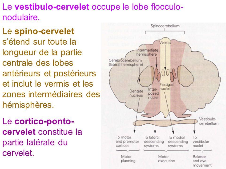 Le vestibulo-cervelet occupe le lobe flocculo- nodulaire. Le spino-cervelet sétend sur toute la longueur de la partie centrale des lobes antérieurs et