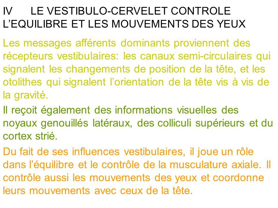 IVLE VESTIBULO-CERVELET CONTROLE LEQUILIBRE ET LES MOUVEMENTS DES YEUX Les messages afférents dominants proviennent des récepteurs vestibulaires: les