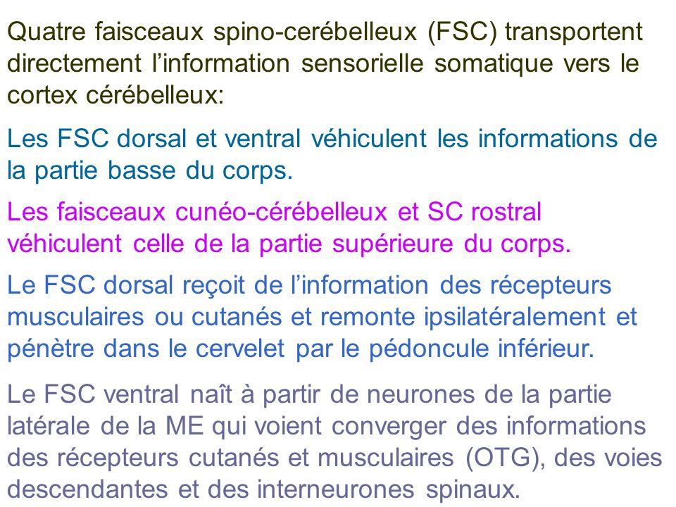 Quatre faisceaux spino-cerébelleux (FSC) transportent directement linformation sensorielle somatique vers le cortex cérébelleux: Les FSC dorsal et ven