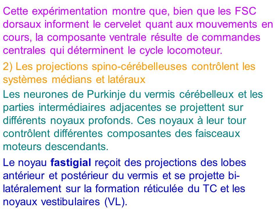 Cette expérimentation montre que, bien que les FSC dorsaux informent le cervelet quant aux mouvements en cours, la composante ventrale résulte de comm