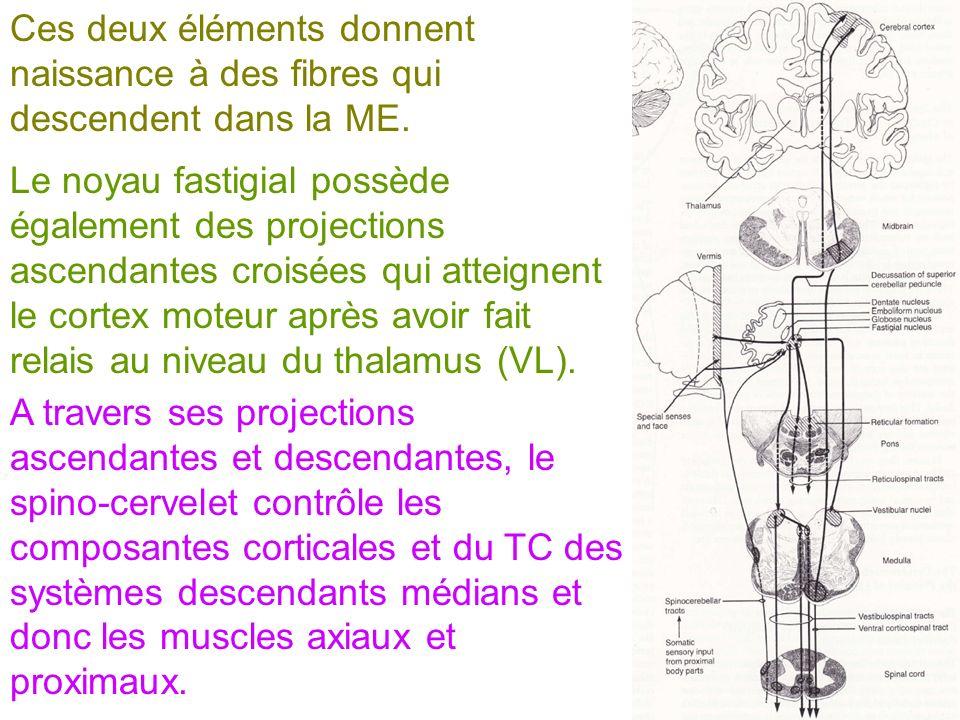 A travers ses projections ascendantes et descendantes, le spino-cervelet contrôle les composantes corticales et du TC des systèmes descendants médians