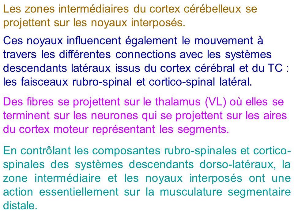 Les zones intermédiaires du cortex cérébelleux se projettent sur les noyaux interposés. Ces noyaux influencent également le mouvement à travers les di