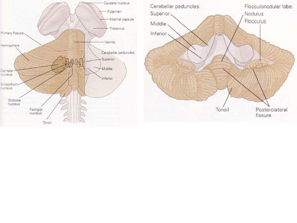 Une lésion des projections provenant des noyaux dentelés ou interposés sur les aires motrices corticales ou le TC conduisent également à une diminution du tonus musculaire ou hypotonie.