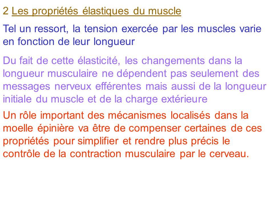 2 Les propriétés élastiques du muscle Tel un ressort, la tension exercée par les muscles varie en fonction de leur longueur Du fait de cette élasticit