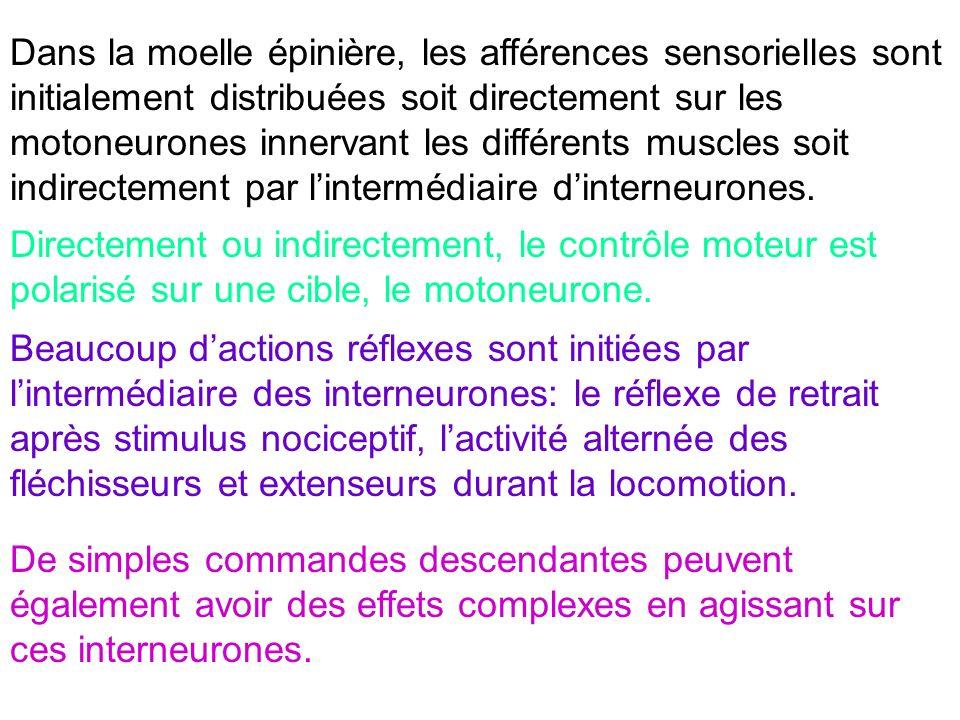 Dans la moelle épinière, les afférences sensorielles sont initialement distribuées soit directement sur les motoneurones innervant les différents musc