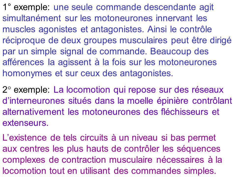 2° exemple: La locomotion qui repose sur des réseaux dinterneurones situés dans la moelle épinière contrôlant alternativement les motoneurones des flé