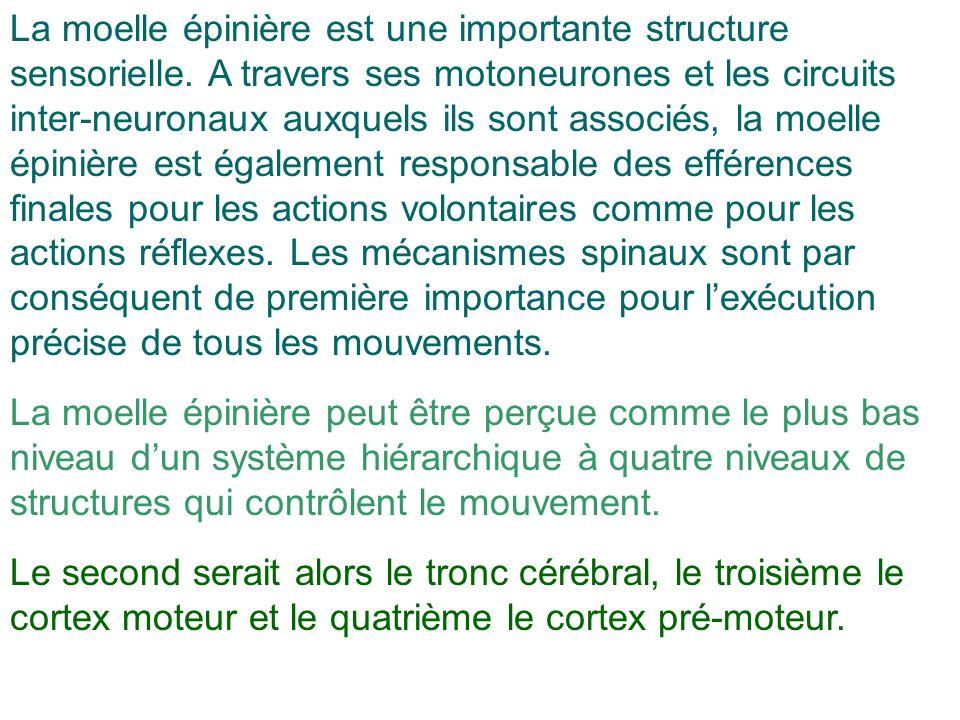 La moelle épinière est une importante structure sensorielle. A travers ses motoneurones et les circuits inter-neuronaux auxquels ils sont associés, la