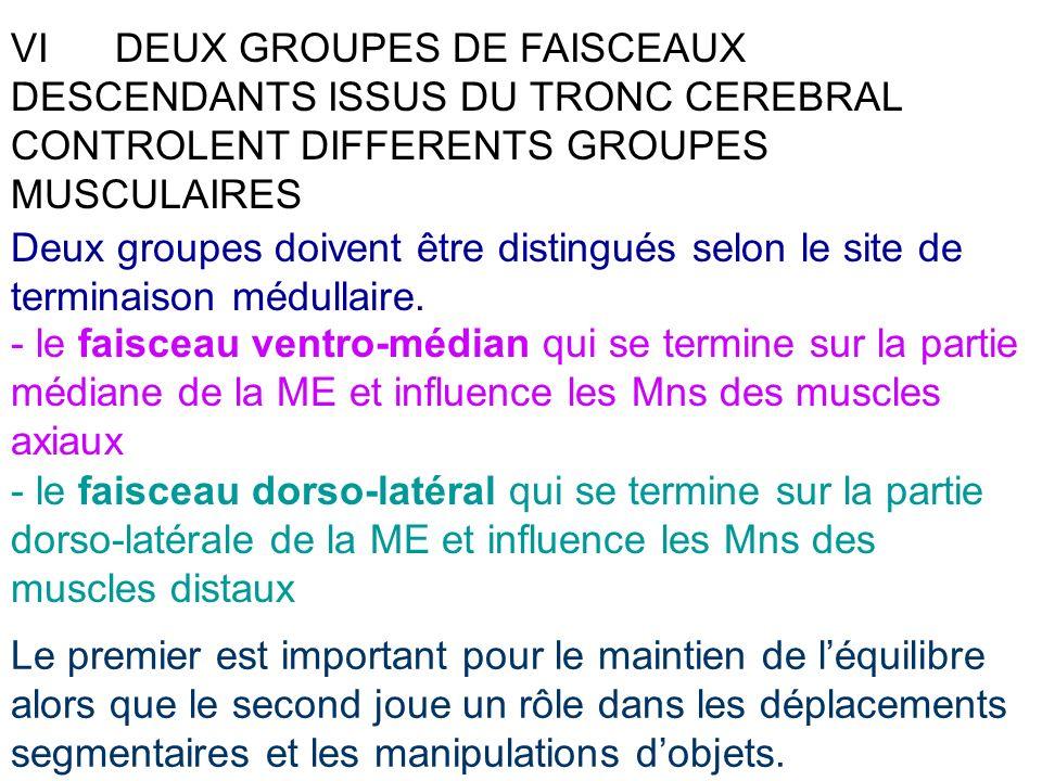 VIDEUX GROUPES DE FAISCEAUX DESCENDANTS ISSUS DU TRONC CEREBRAL CONTROLENT DIFFERENTS GROUPES MUSCULAIRES Deux groupes doivent être distingués selon l