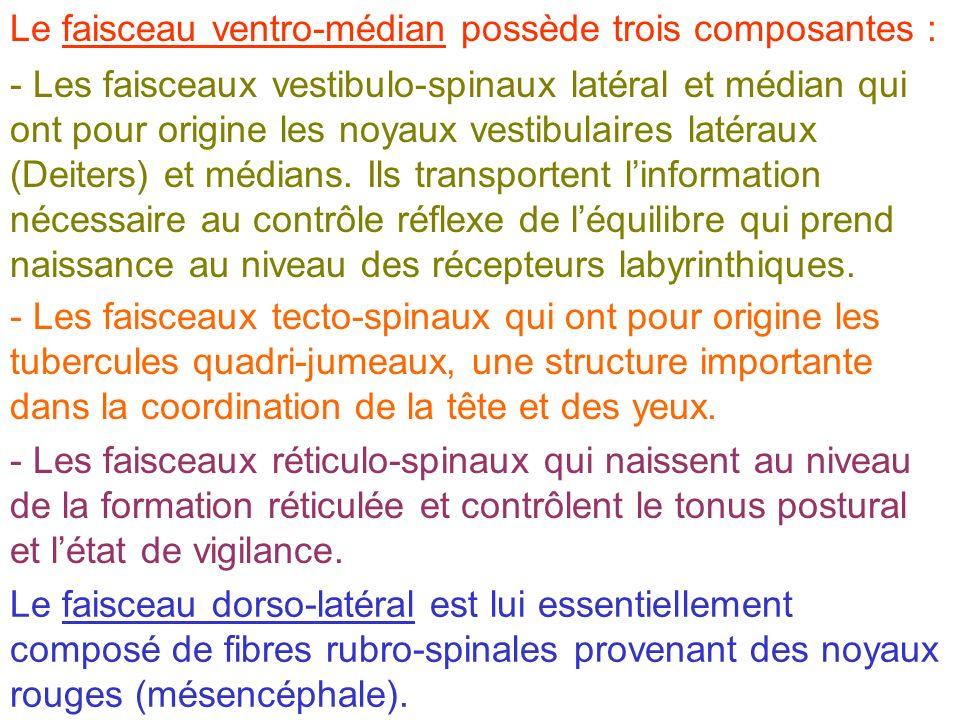 - Les faisceaux vestibulo-spinaux latéral et médian qui ont pour origine les noyaux vestibulaires latéraux (Deiters) et médians. Ils transportent linf