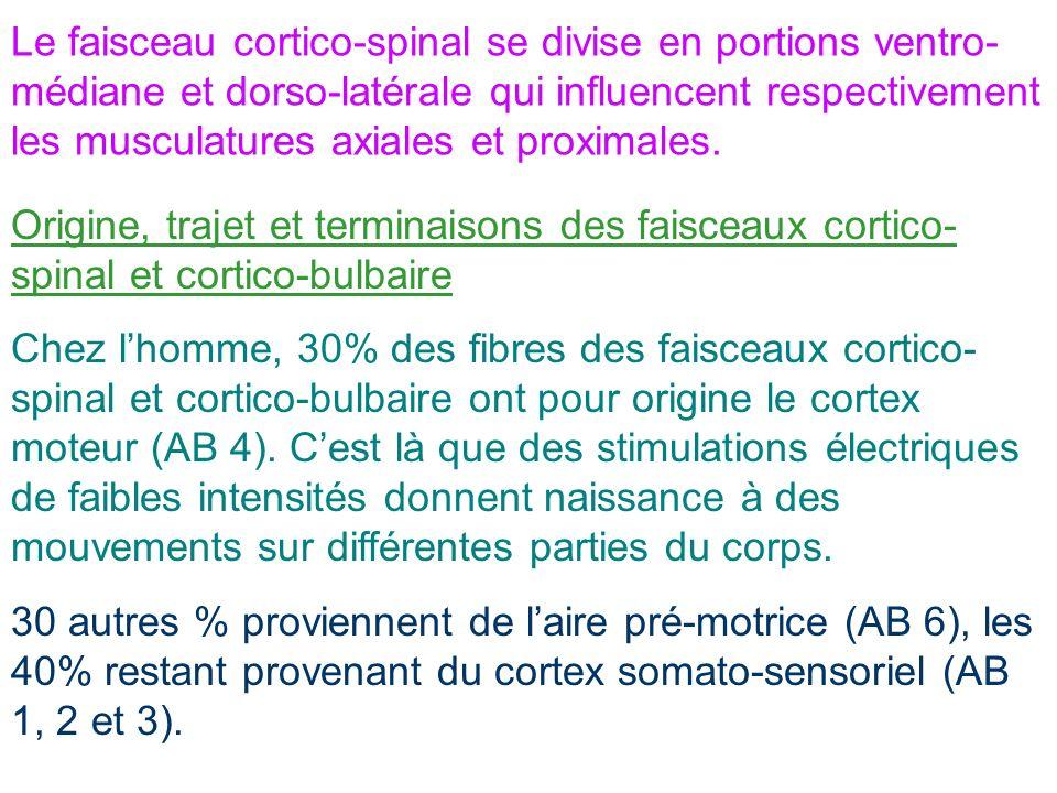 Le faisceau cortico-spinal se divise en portions ventro- médiane et dorso-latérale qui influencent respectivement les musculatures axiales et proximal