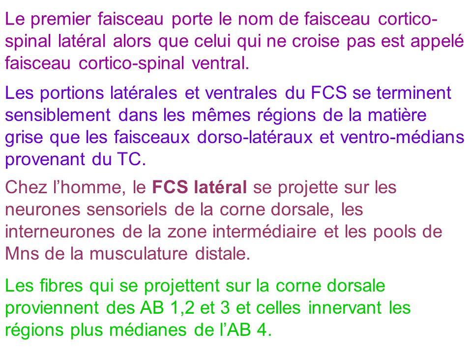 Le premier faisceau porte le nom de faisceau cortico- spinal latéral alors que celui qui ne croise pas est appelé faisceau cortico-spinal ventral. Les