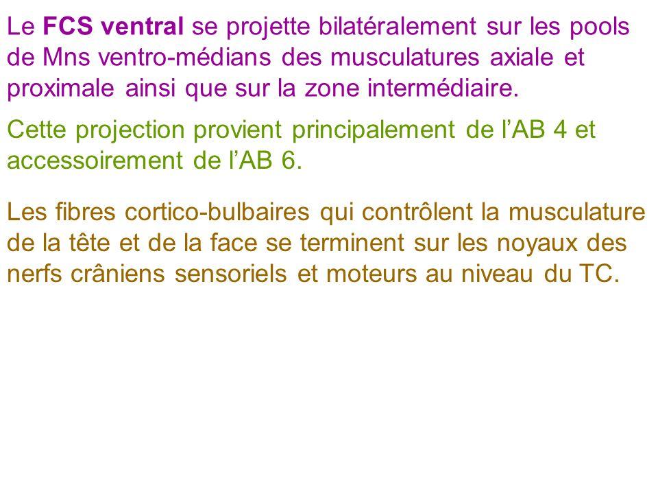 Le FCS ventral se projette bilatéralement sur les pools de Mns ventro-médians des musculatures axiale et proximale ainsi que sur la zone intermédiaire