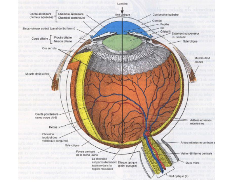 II –3 La lumière est transformée en signal électrique Les modifications engendrées au niveau de la rhodopsine ou des opsines modifient la perméabilité de la membrane du segment extérieur, causant la fermeture des canaux à Na + qui sont ouverts dans lobscurité.