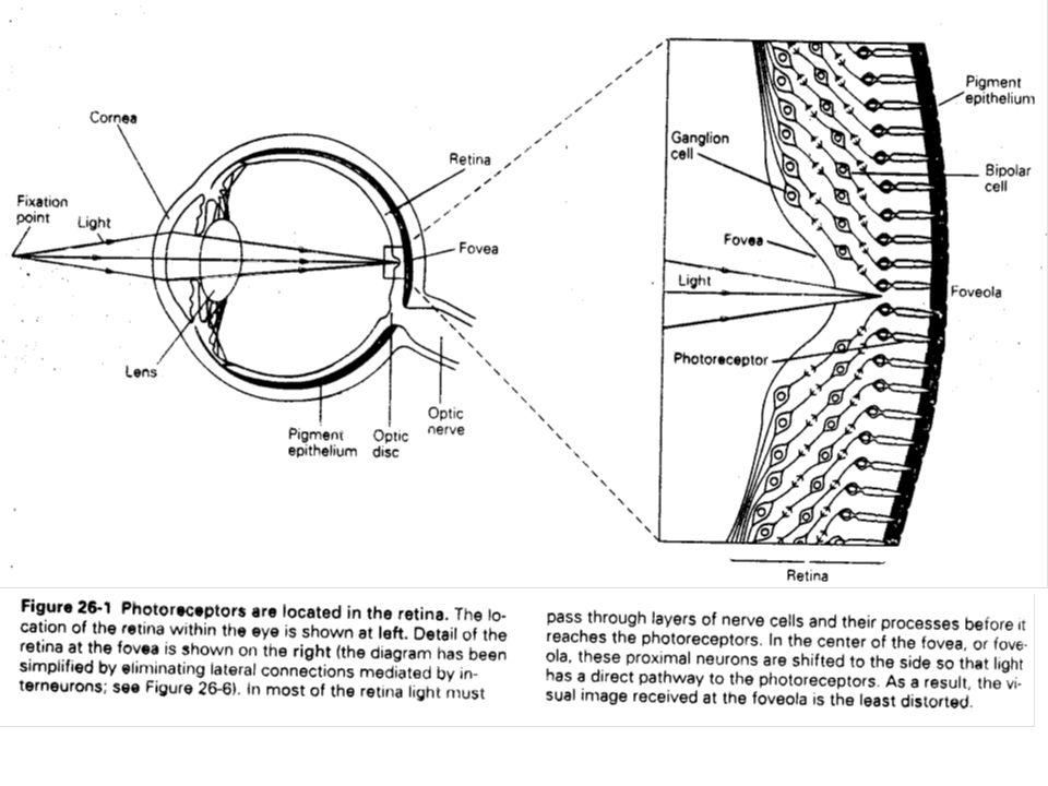 Dans la fovéa centrale, la partie de la rétine qui possède la plus grande résolution spatiale, on ne trouve que des photorécepteurs.