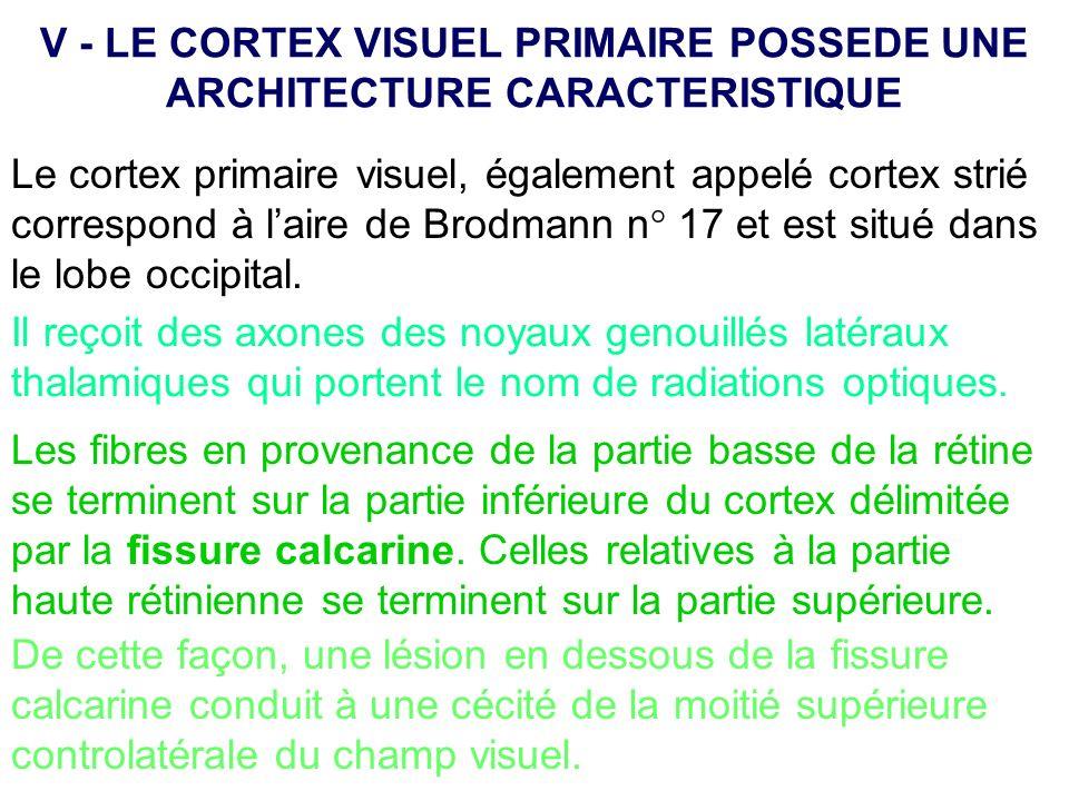 Le cortex primaire visuel, également appelé cortex strié correspond à laire de Brodmann n° 17 et est situé dans le lobe occipital. Il reçoit des axone