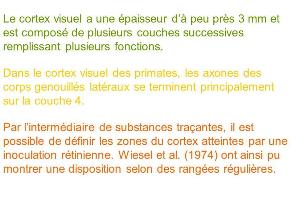 Le cortex visuel a une épaisseur dà peu près 3 mm et est composé de plusieurs couches successives remplissant plusieurs fonctions. Dans le cortex visu