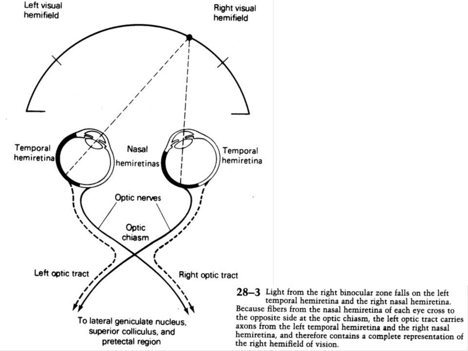Le colliculus supérieur est utilisé pour orienter la tête et les yeux en direction de la source du stimulus visuel.