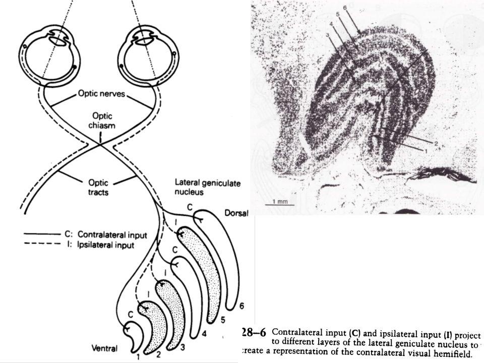 Ces couches sont numérotées de 1, la plus ventrale, à 6, la plus dorsale Une couche ne reçoit des informations que dun seul œil : les fibres de la rétine nasale controlatérale se terminent sur les couches 1, 4 et 6, celles de la rétine temporale ipsilatérale sur les couches 2, 3 et 5.