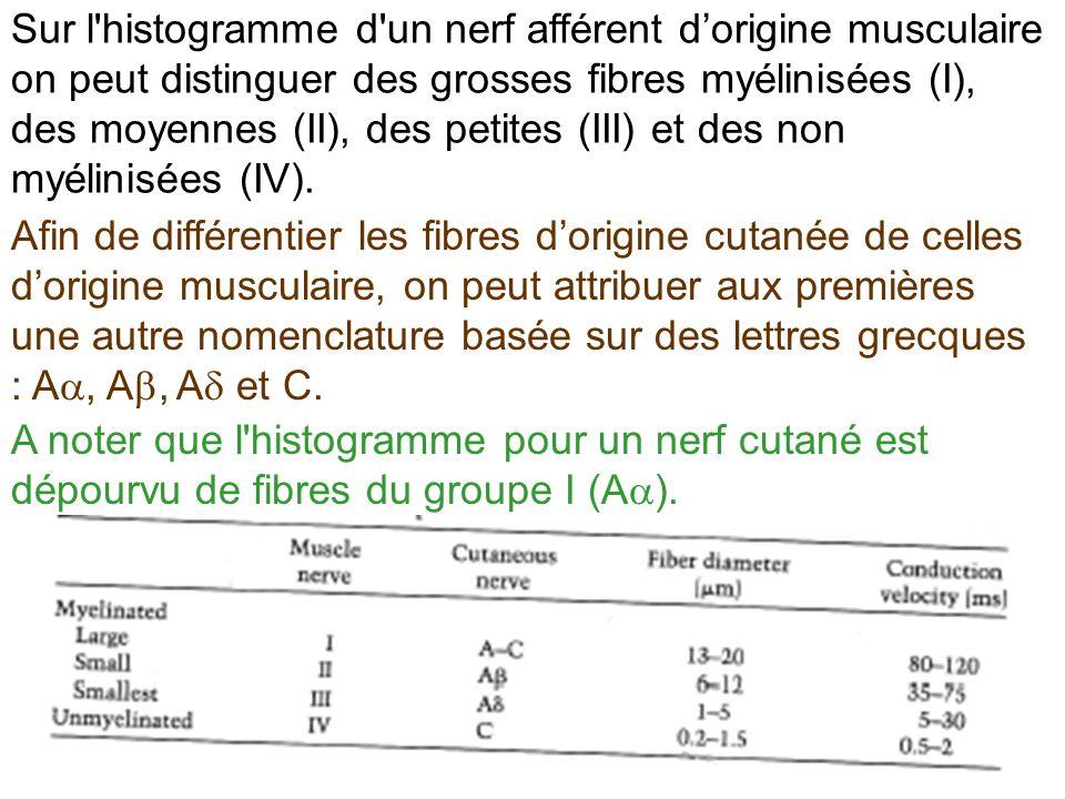 Afin de différentier les fibres dorigine cutanée de celles dorigine musculaire, on peut attribuer aux premières une autre nomenclature basée sur des l