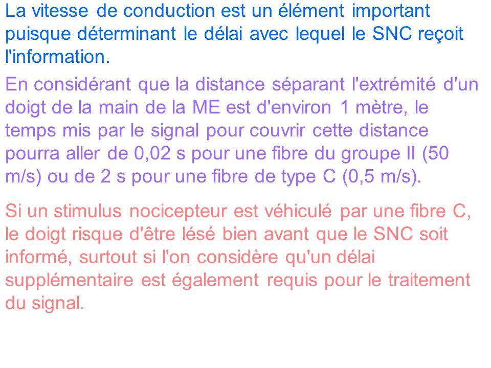 La vitesse de conduction est un élément important puisque déterminant le délai avec lequel le SNC reçoit l'information. En considérant que la distance