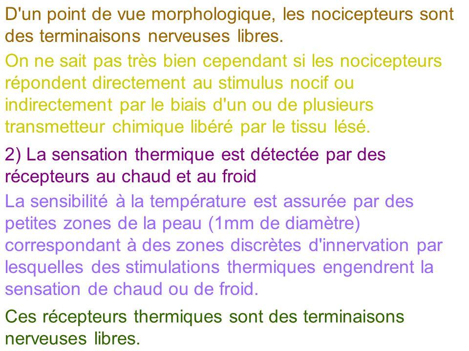 D'un point de vue morphologique, les nocicepteurs sont des terminaisons nerveuses libres. On ne sait pas très bien cependant si les nocicepteurs répon