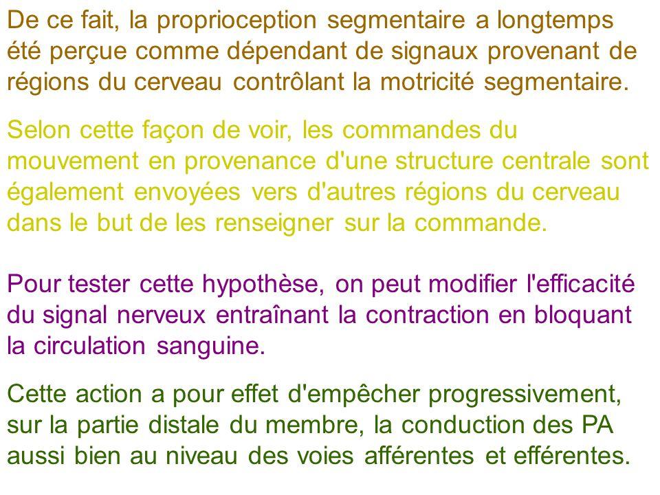 De ce fait, la proprioception segmentaire a longtemps été perçue comme dépendant de signaux provenant de régions du cerveau contrôlant la motricité se